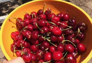picking cherries in oakdale