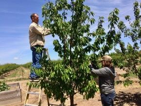 picking cherries in oakdale
