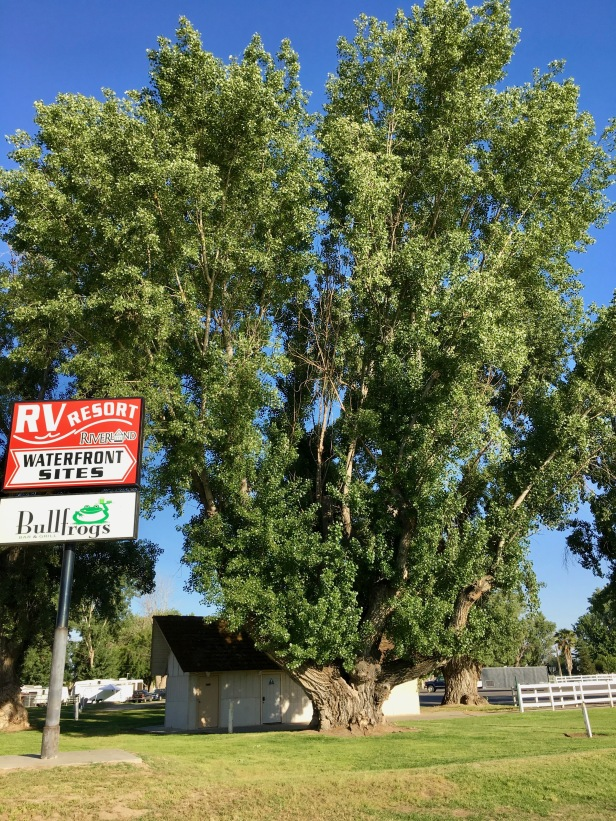 cottonwood tree at riverland