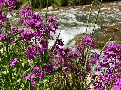 Wildflowers along Spearfish Creek