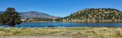 pelicans on lake shastina