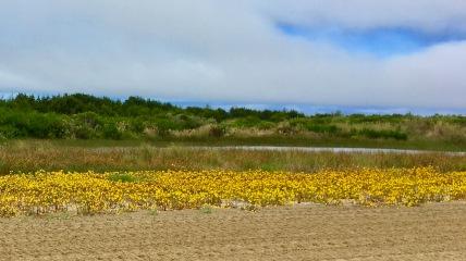 flowers in oregon dunes