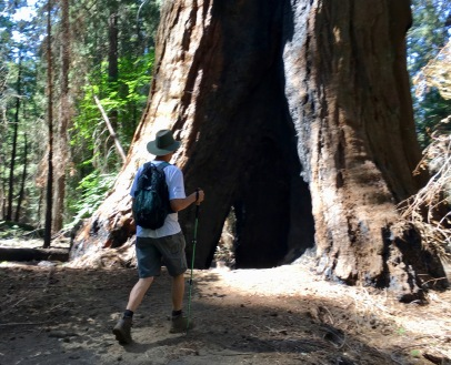 tom going inside a Giant Redwood.