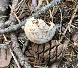 Mushroom next to Sequoia pine cone.