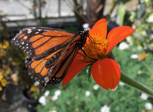 butterfly garden at humbolt botanical garden