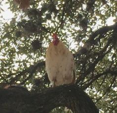 Texas Peacock - aka Rooster