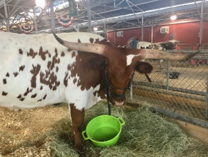 Live longhorn at the fair.